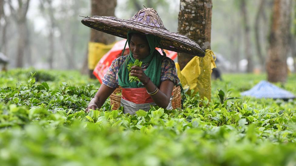Una recolectora de té en una plantación en Assam.