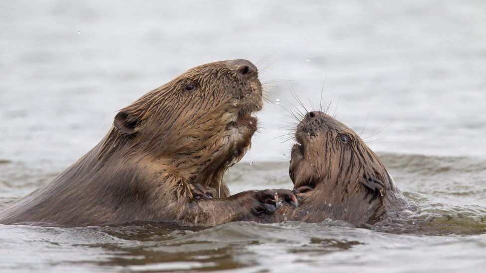 Beavers in Essex doing 'better job' of making flood defences