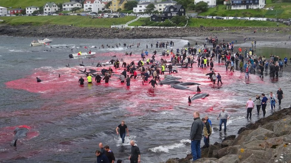 Whale hunt in Faroe Islands turns sea red with blood