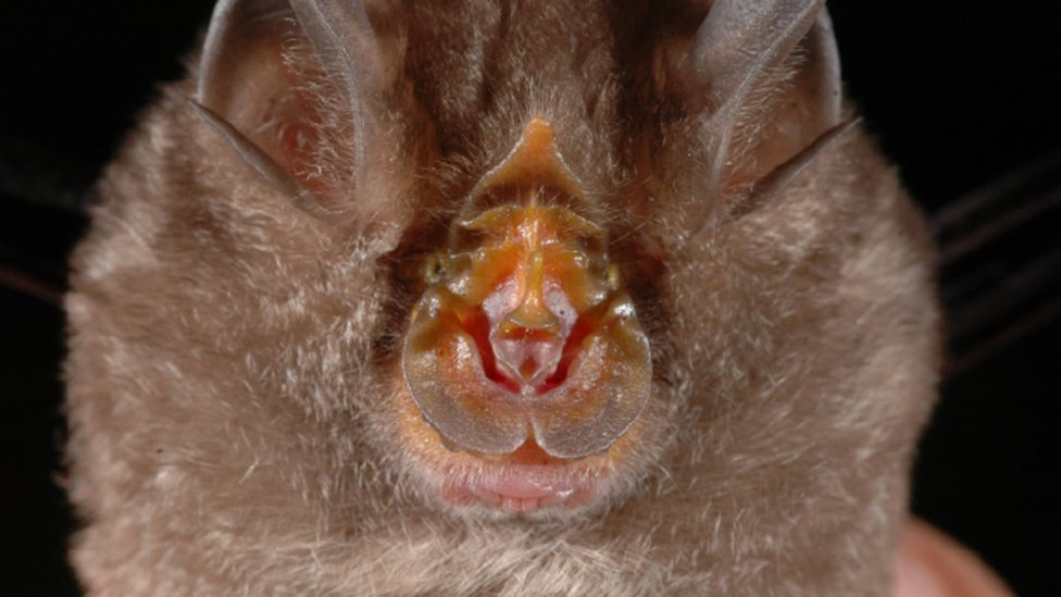 Undated handout photo issued by WWF, of a Rhinolophus monticolus, a mountain horseshoe bat, which is one of the 115 new species that were discovered in the Greater Mekong region in 2016.