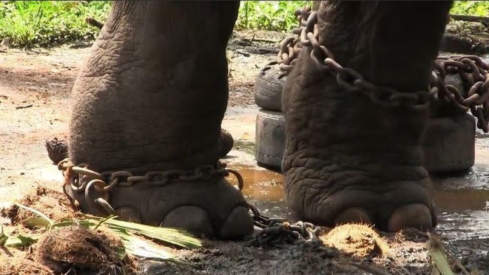 The shackled legs of an elephant standing in a puddle and dung