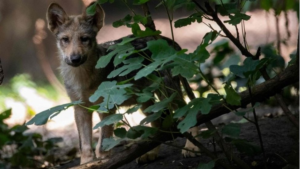 A three-month-old Mexican wolf (Canis lupus baileyi) is seen at the Coyotes Zoo in Mexico City on July 10, 2018