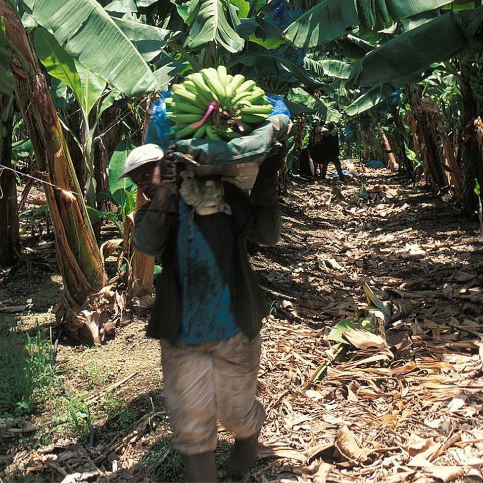 Banana plantation worker
