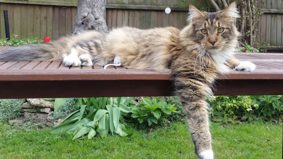 Appeal As Exning Maine Coon Cat Shot With Air Gun Bbc News