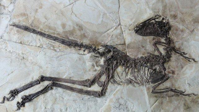 Newly described dinosaur, Zhenyuanlong (c)