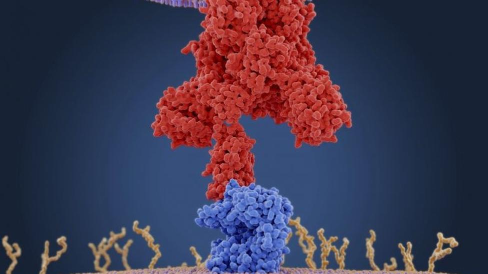 Ilustração a nível molecular de proteínas do coronavírus, representados por um conjunto de bolinhas vermelhas; se ligando aos receptores da célula humana, representados por bolinhas azuis