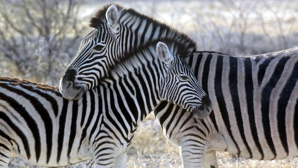 Dos cebras en Namibia