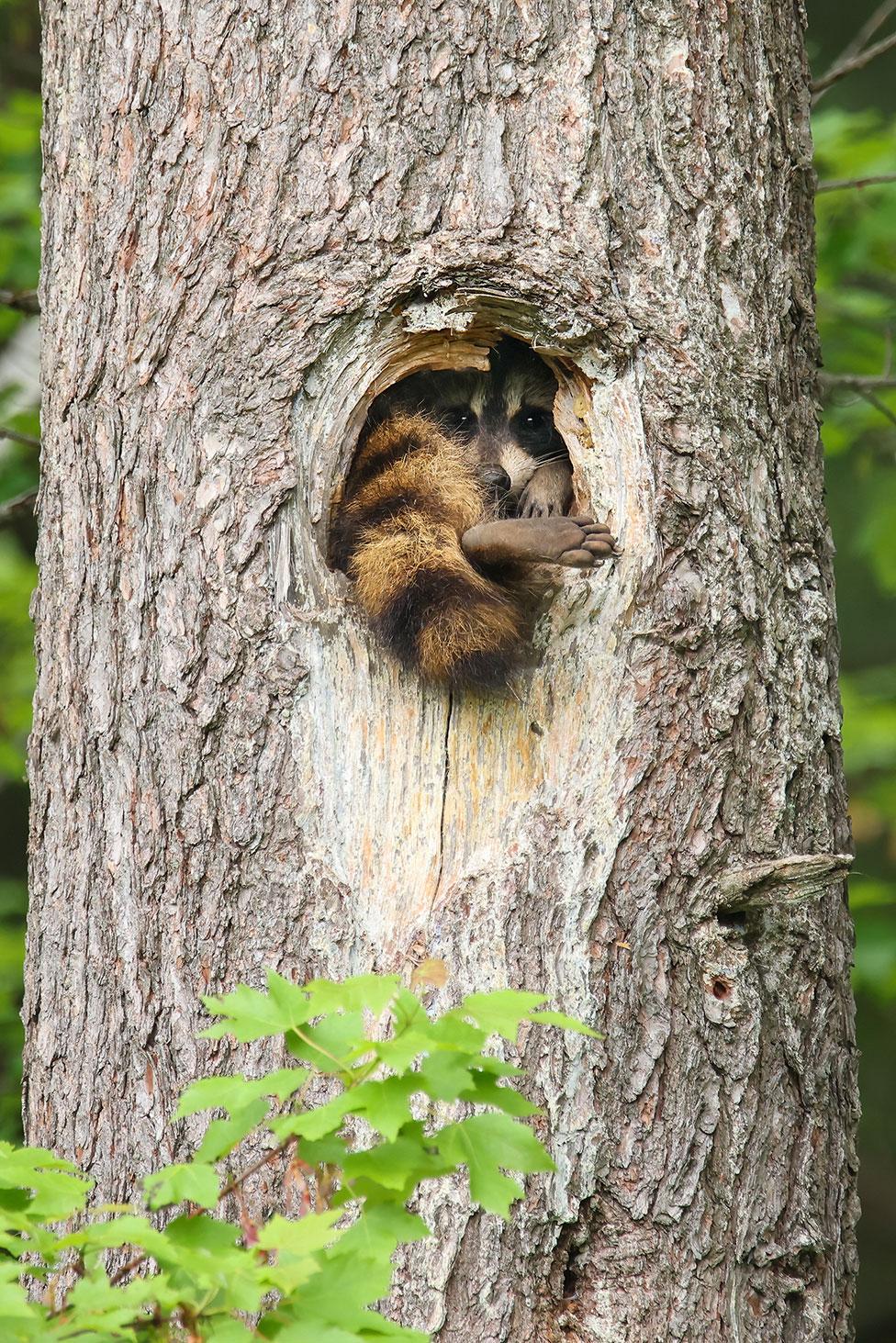Mapache en un árbol.