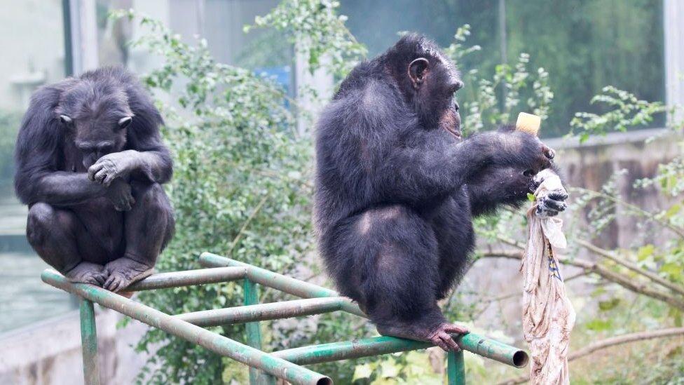 Simpanse di sebuah kebun binatang di China.