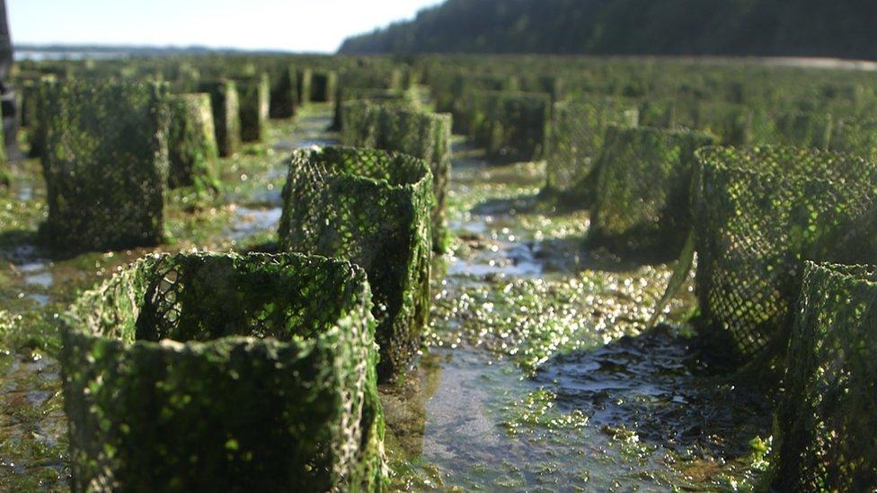 Geoduck farming