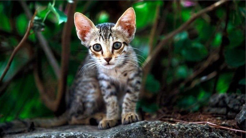 vahşi kedi