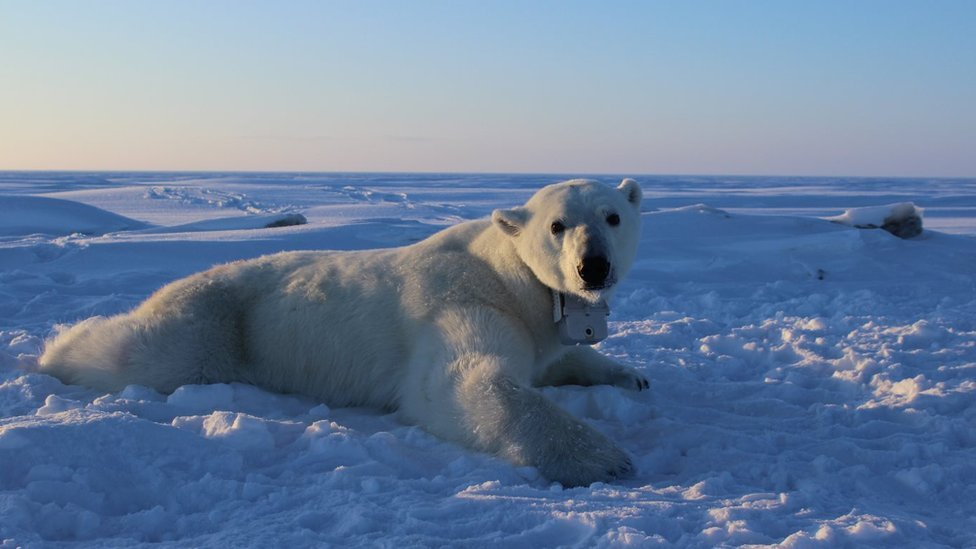GPS video-camera collars were applied to solitary adult female polar bears for 8 to 12 days in April, 2014-2016. These collars enabled researchers to understand the movements, behaviors, and foraging success of polar bears on the sea ice.