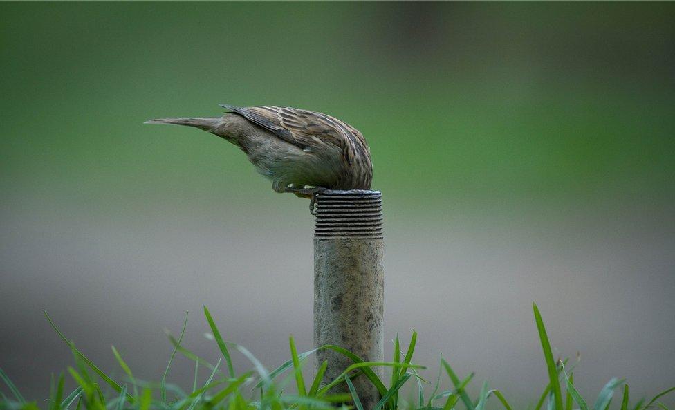 Pájaro buscando agua.