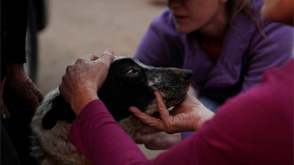 Veterinarka Doun Alvs pomaže opečenom psu