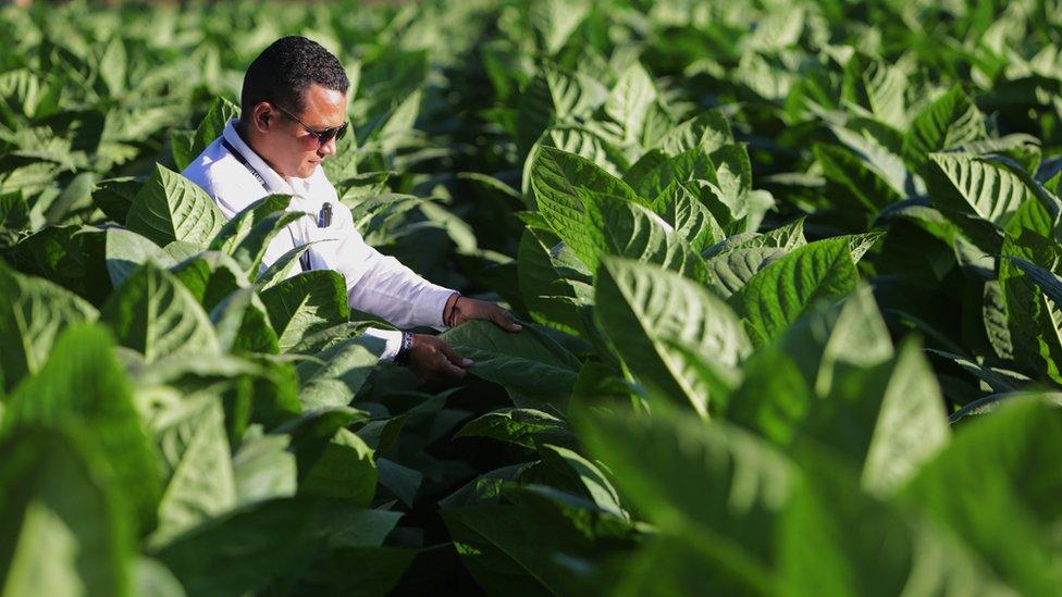 Plantación de hojas de tabaco.
