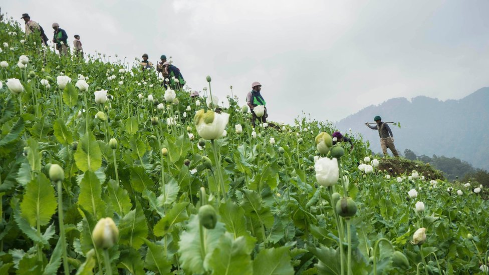 Anti-narcotic campaigners destroy a poppy cultivation near Lone Zar village in northern Kachin state on 3 February 2016.