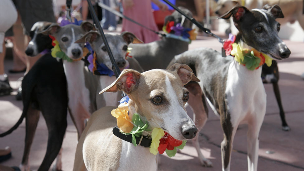 Has a new racing ban in Florida doomed these dogs?