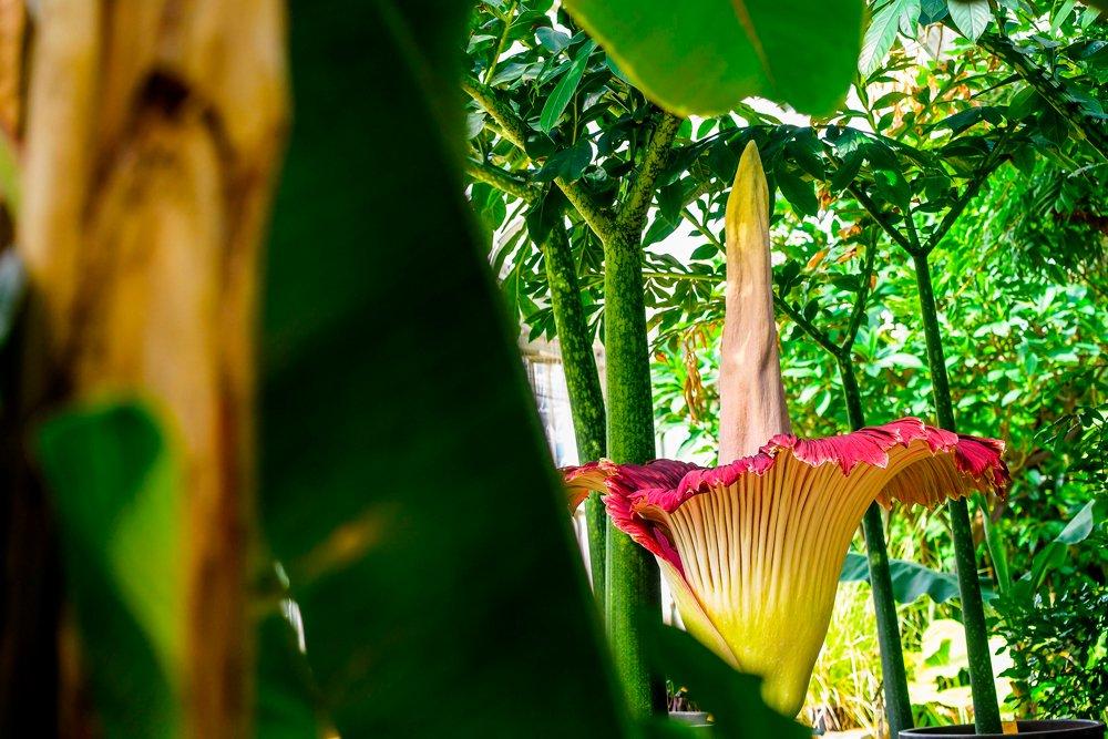 Dünyadaki en büyük çiçek olan titan arum, Belçika'nın Meise kentindeki ulusal botanik bahçesinde. Kötü kokusuyla bilinen bu çiçekler 3 metreye kadar uzayabiliyor. Tek bir çiçeğin açması yıllar sürebiliyor