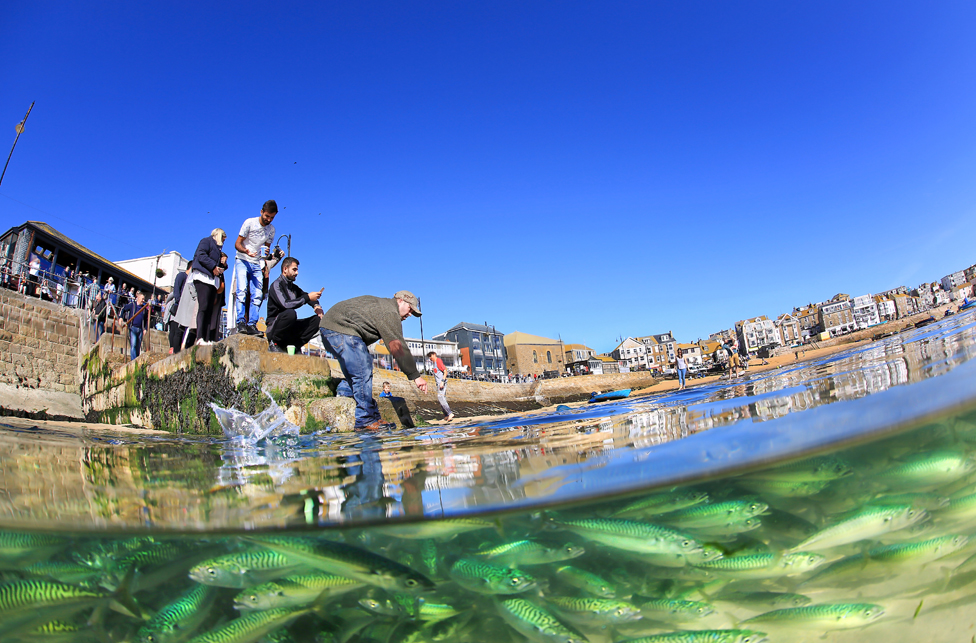 A shoal of mackerel are caught out by the spring low tide in St Ives harbour, Cornwall