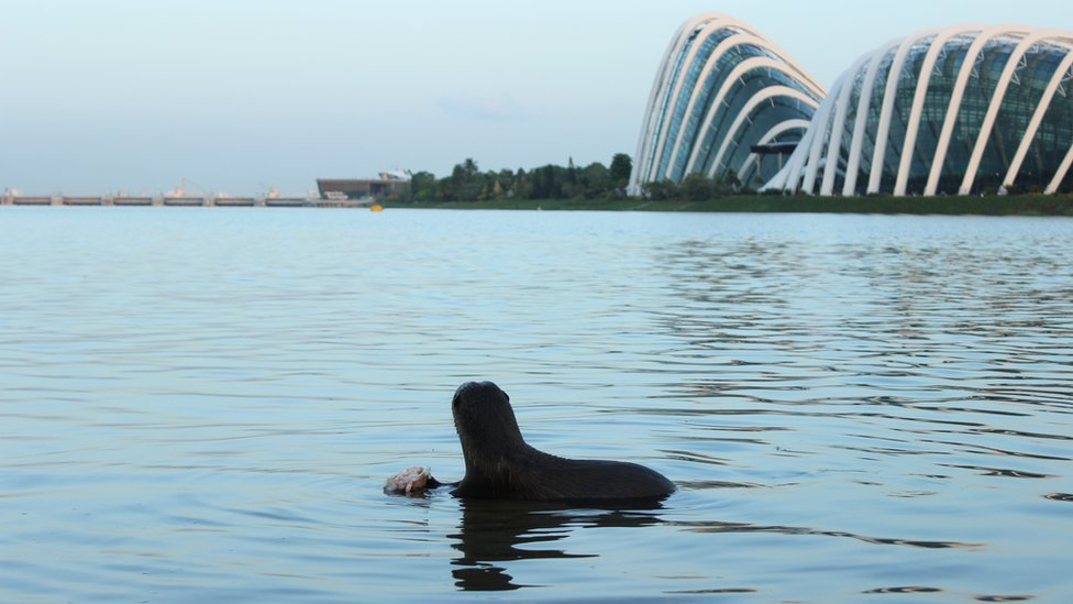 An otter looks towards the Marina Barrage; the glasshouses of Gardens by the Bay are in shot