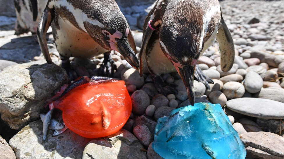 Penguins at West Midlands Safari Park cool off with mackerel flavoured ice