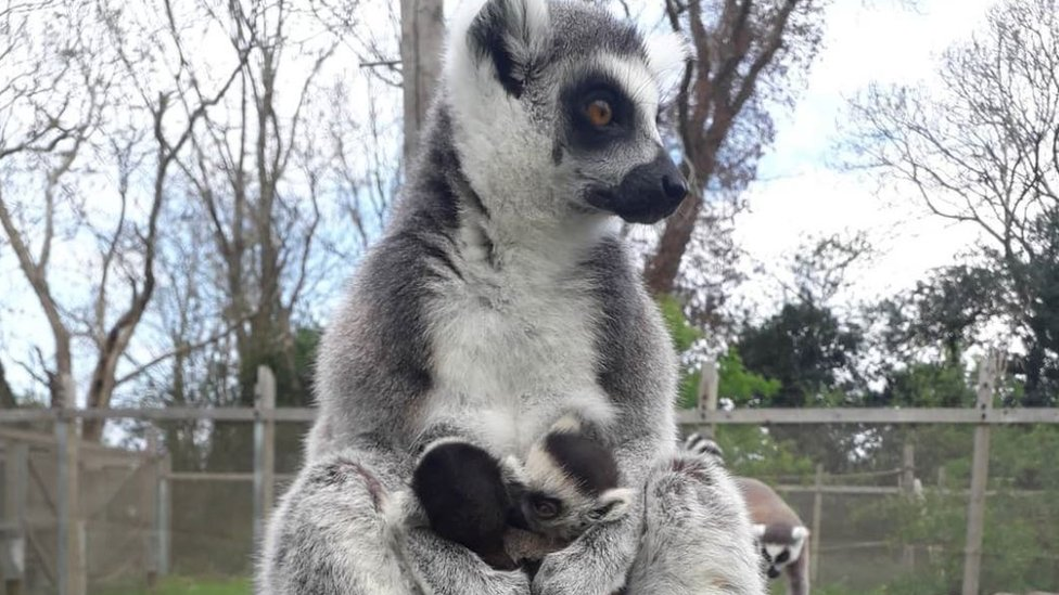 Ring-tailed lemur with two babies