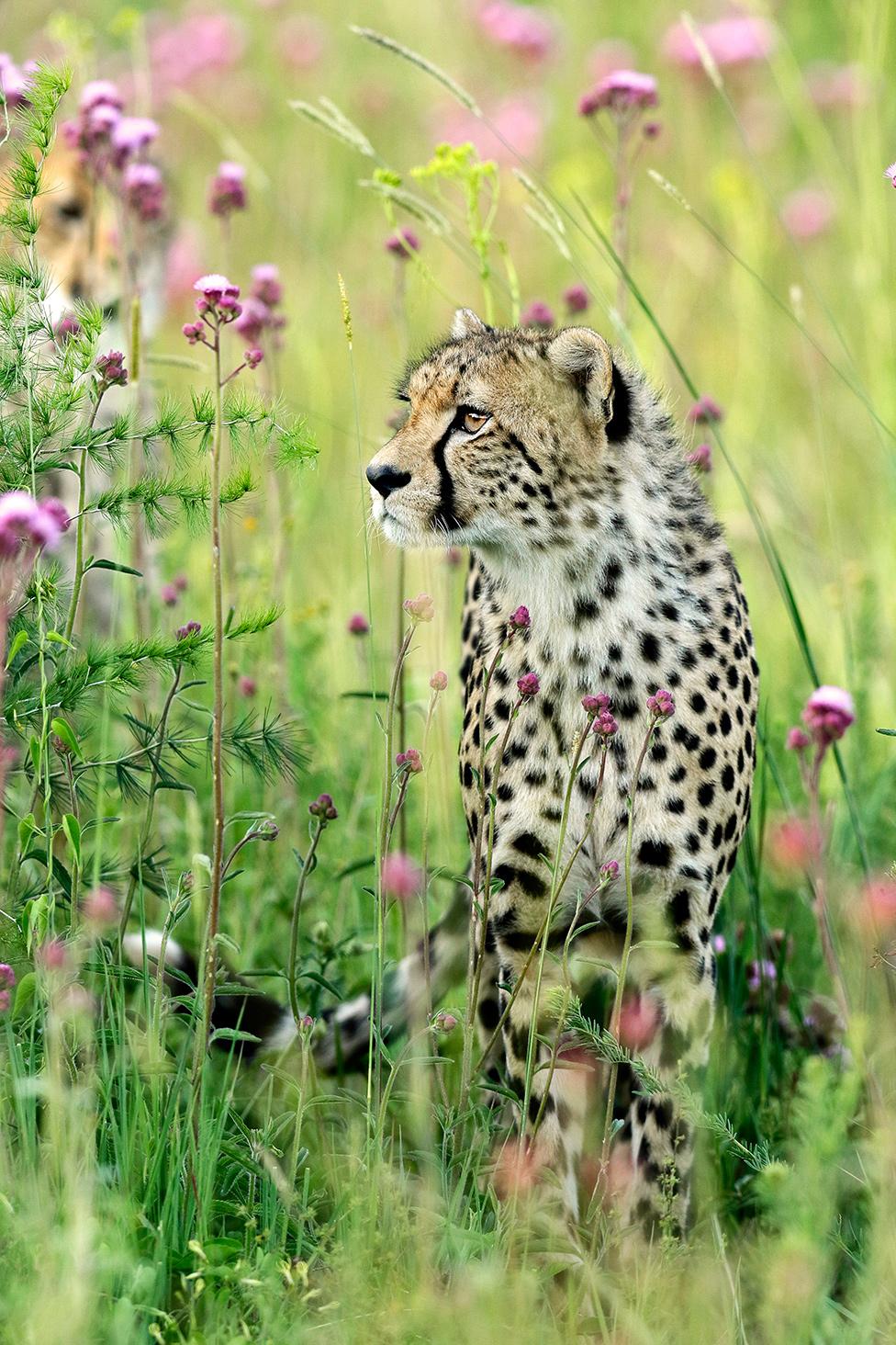 Gepard u cveću