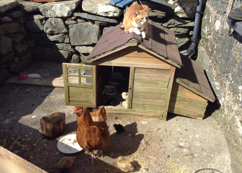 Davy the cat sat atop a chicken shed, disinterested in the chicken and chick below