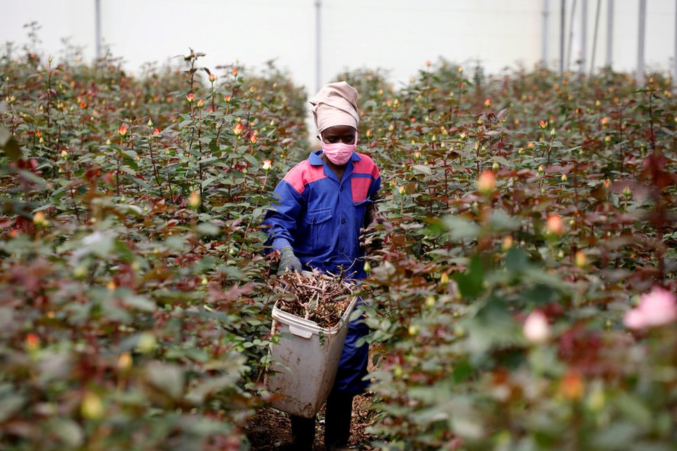A worker walks through rows of roses in a greenhouse while wearing protective equipment