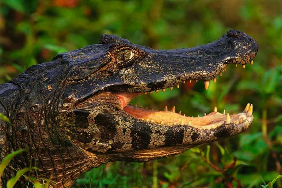 Un cocodrilo con la boca abierta
