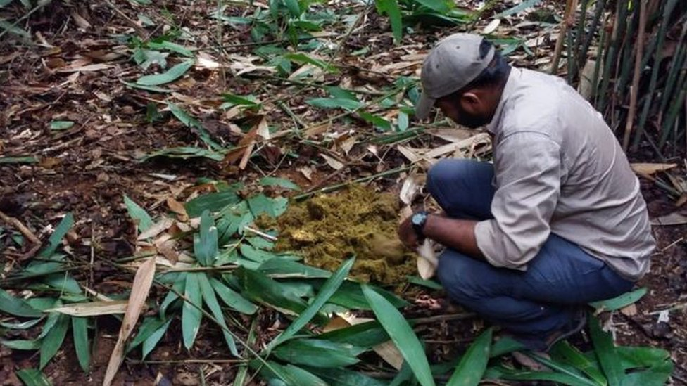 Para peneliti memeriksa kotoran gajah yang dikejar dalam operasi pengejaran.