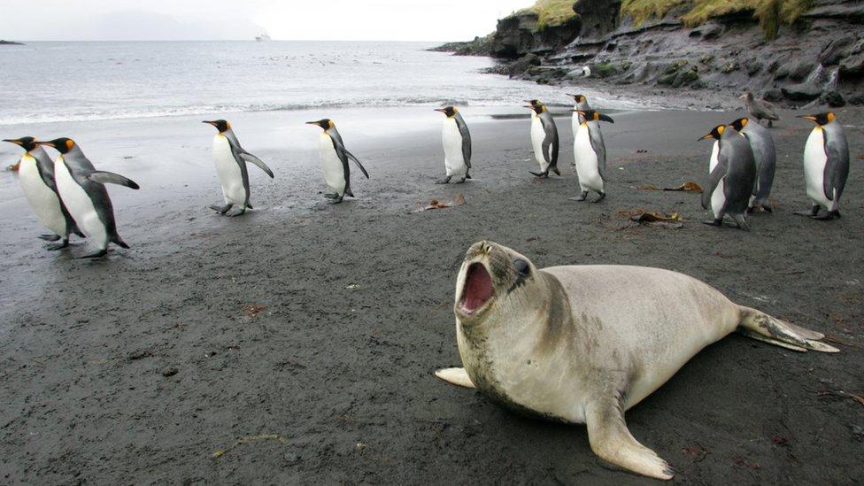 (資料圖片)2007年7月1日 克羅澤群島的帝企鵝和海像