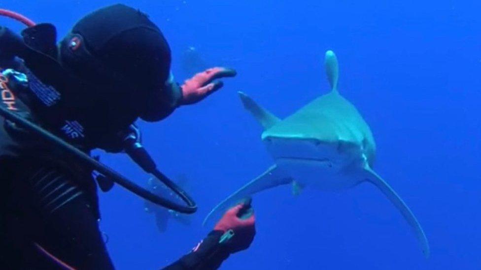 Whitetip shark rescue video goes viral