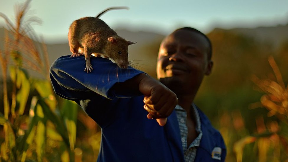 An Apopo handler carries a giant African pouched rat on his arm during mine detection training