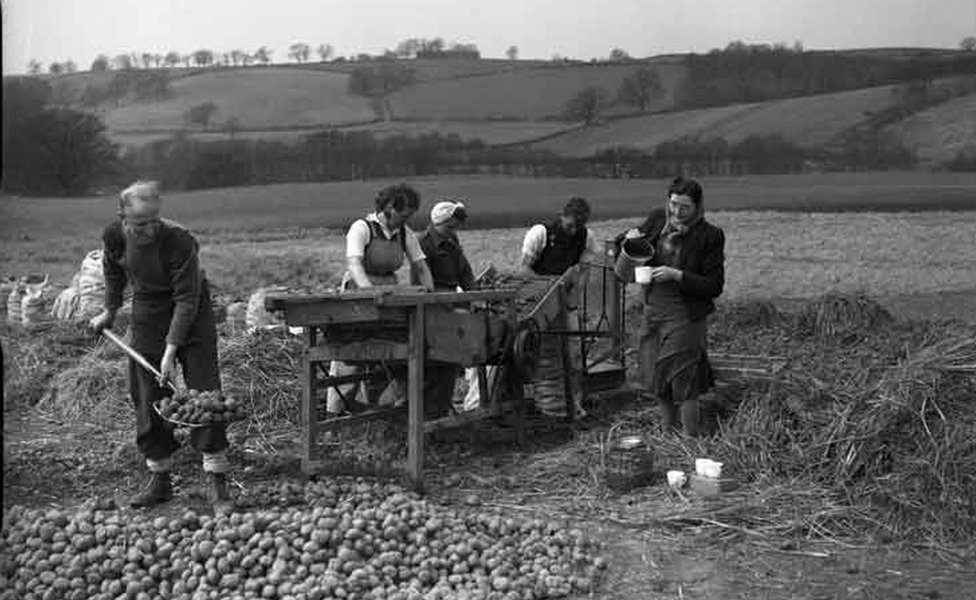 Agricultural workers in Cumberland, England, 1947