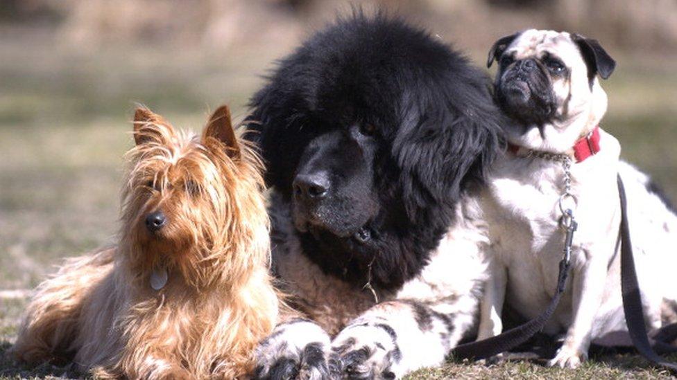 bir grup köpek.