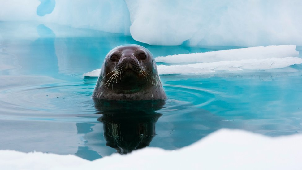A seal swimming near an Antarctic ice floe