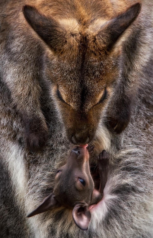 Un canguro con su bebé