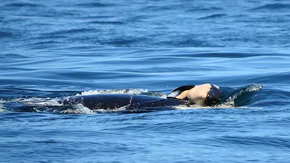 Orca madre sostiene a su cría muerta.