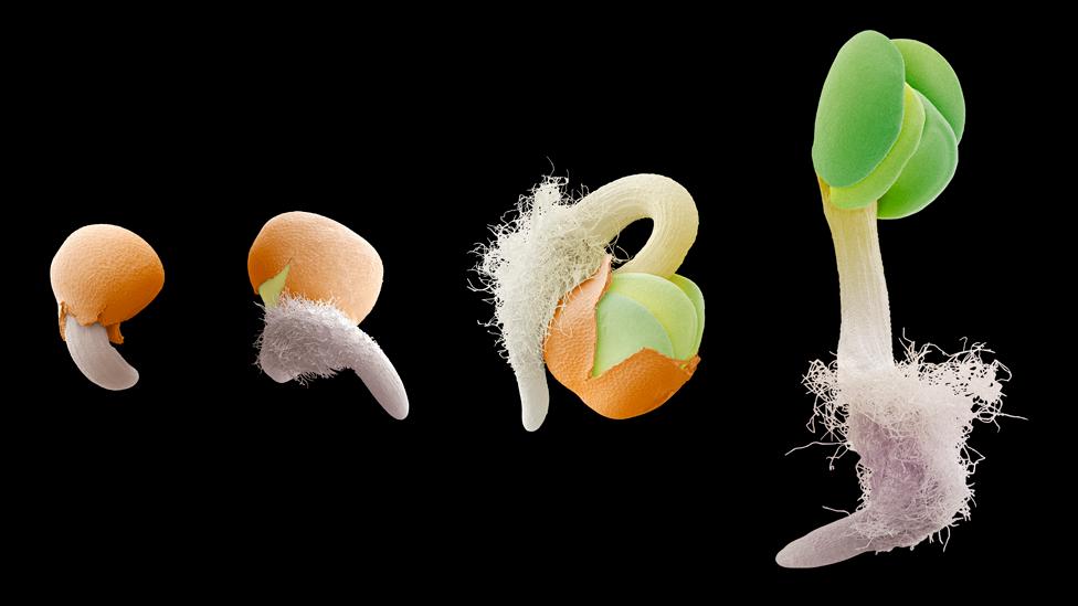Semilla en varias etapas de germinación
