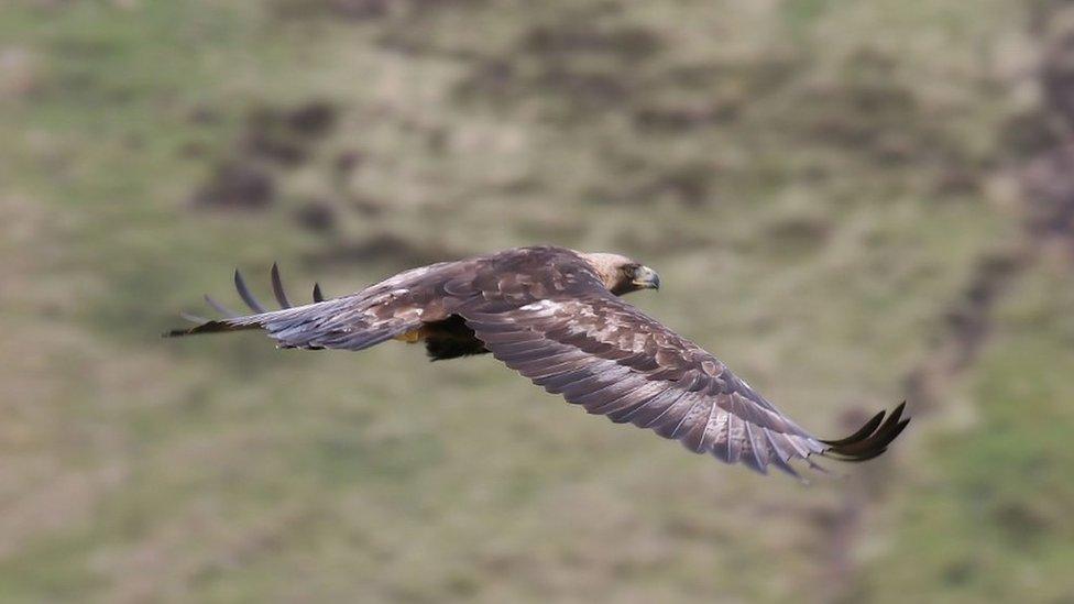Golden eagle in flight (c) Iain Erskine