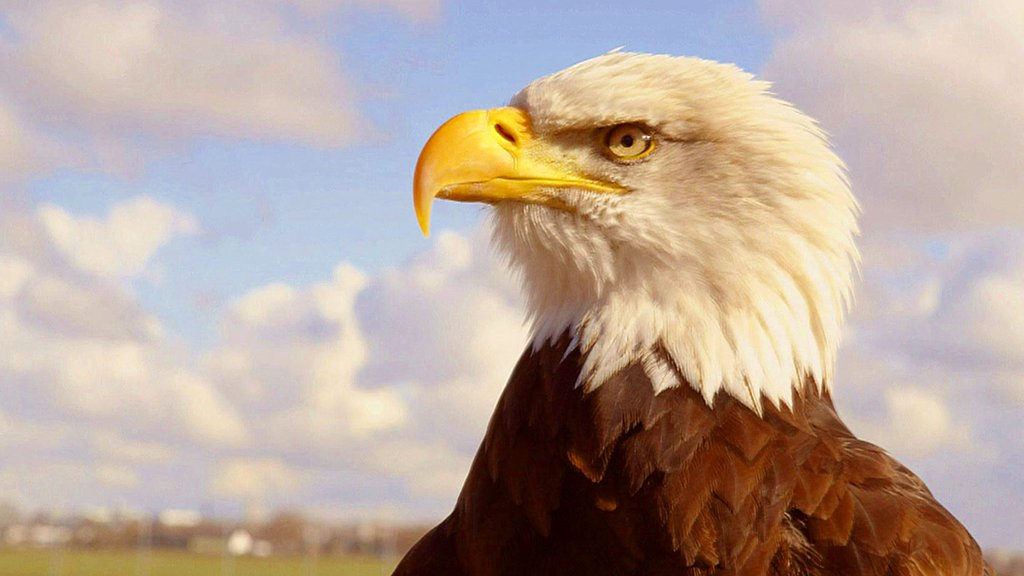 An eagle trained to catch a drone