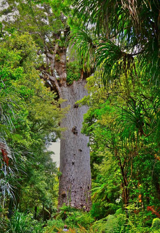 El famoso kauri conocido como Tane Mahuta