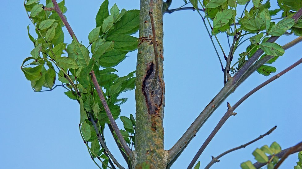 Ash dieback marks in a young tree in the Cotswolds