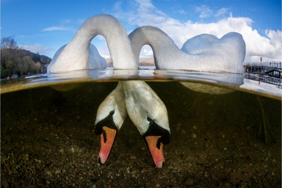 Two swans feeding under the lake water.