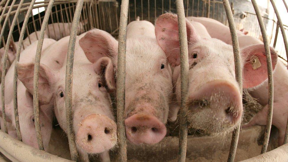 Cerdos hacinados en una granja