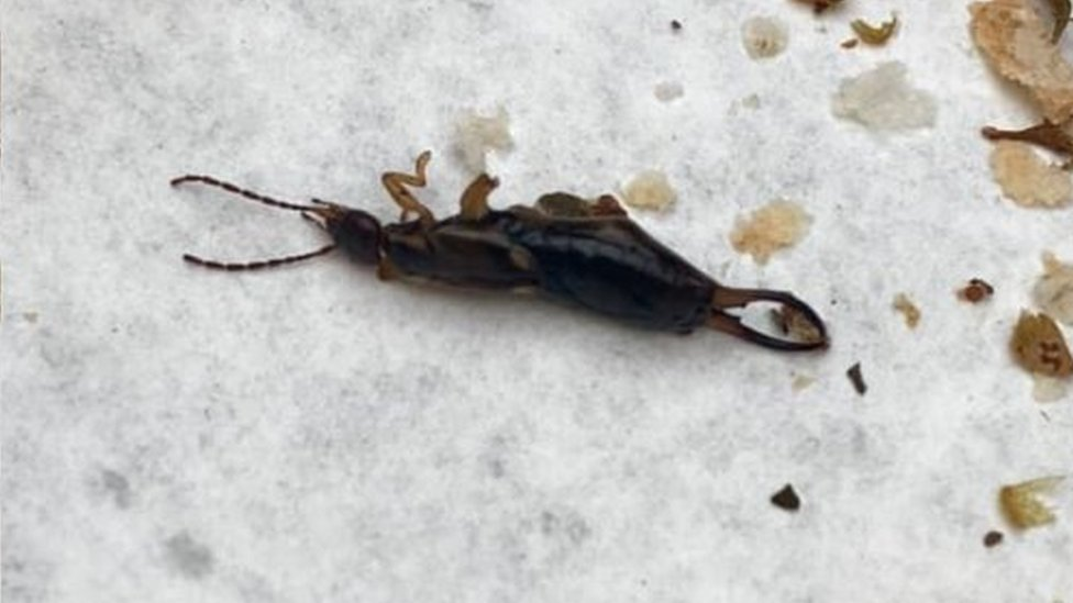 Earwig Subway