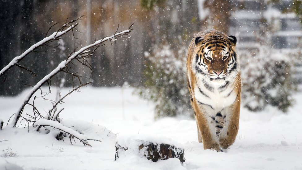 A Siberian tiger enjoys the snow at the Yorkshire Wildlife Park in Doncaster, South Yorkshire, as heavy snow and sub-zero conditions have blighted Britain