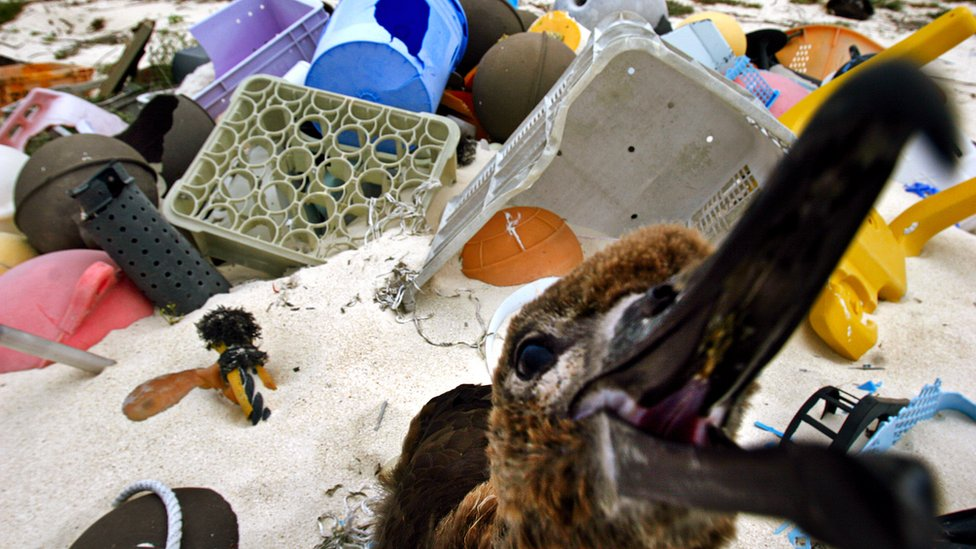 Plastik sindirmeleri nedeniyle kaplumbağalardan albatroslara birçok canlı ölümleri görüldü.