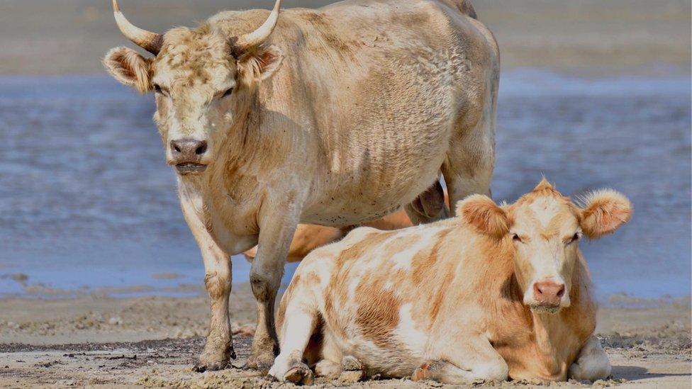 Cows on the beach on Cedar Island, North Carolina, in July 2017